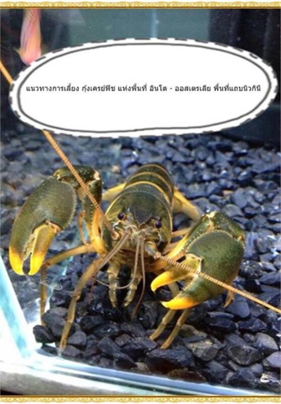 แนวทางการเลี้ยง กุ้งเครย์ฟิช ฯ